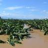フィリピンのバナナ産地が被害甚大
