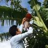 バナナ屋が育てるバナナ