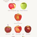 コラム「リンゴの新品種「ルージュ」」のサムネイル画像